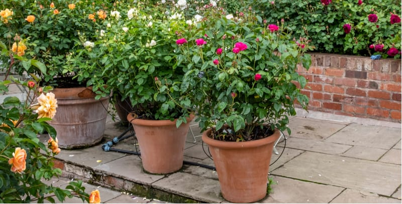 Growing roses in pots. Growing roses in pots and containers is an excellent way to grow rose bushes, miniature roses will grow in small pots but larger varieties need larger pots.