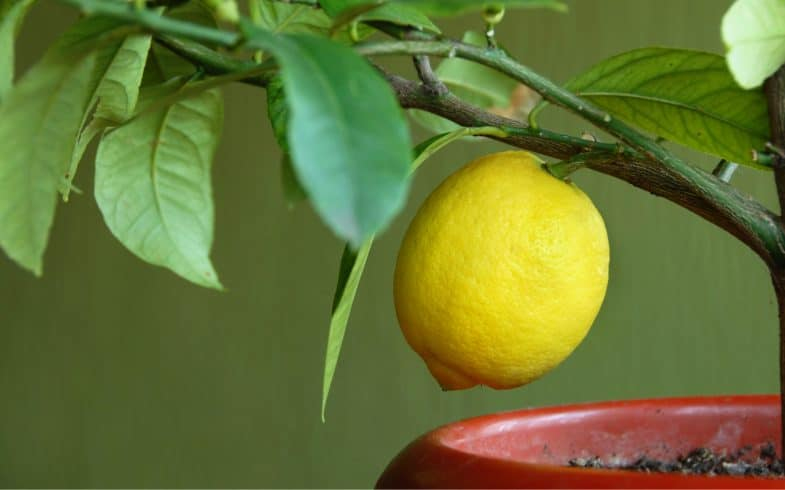 How to feed and water citrus trees