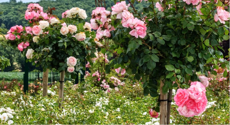 How to plant a standard rose bush