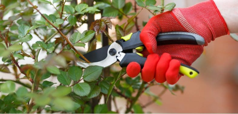 How to prune standard roses