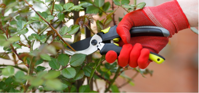 Standard roses when it comes to pruning need to be treated a little differently than normal roses. Learn how to prune standard roses step by step and when.