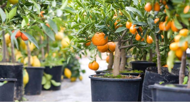Overwintering citrus trees and how to care for them during winter