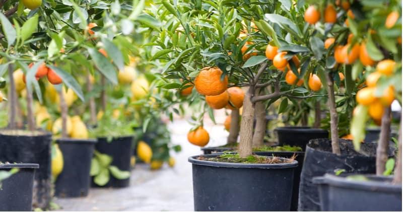 Overwintering Citrus Trees Uk
