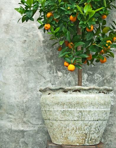 planting citrus orange trees