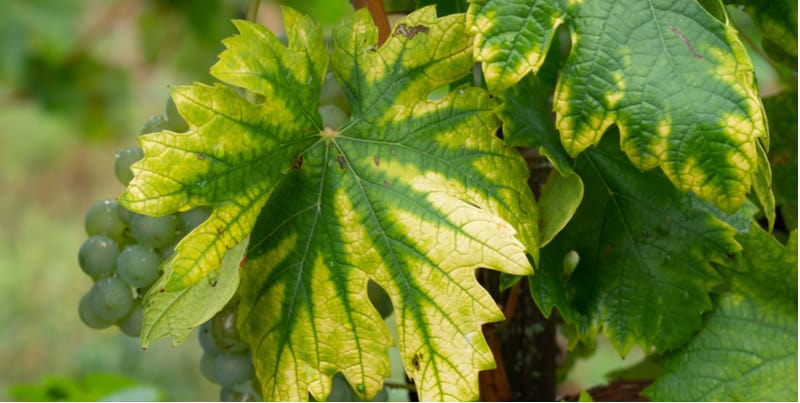 Nitrogen deficiency in plants is fairly easy to spot by yellowing of the leaves, purple stems and stunted growth.