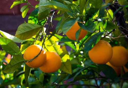 Washington Orange Tree perfect for growing in containers