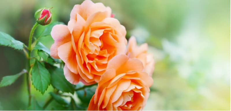 Best roses for pots and containers