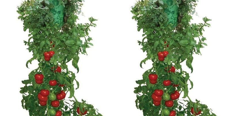 How to grow tomatoes upside down in a hanging basket