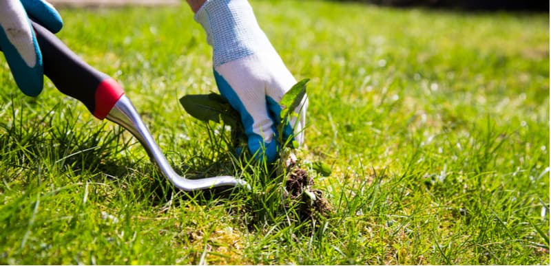 How to get rid of lawn weeds including daisies, clover and dandelions. We talk about manual weeding using weed pullers and other tools to weed killers for lawns