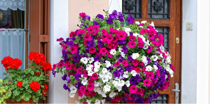 In this article, we look at how to grow petunias in hanging baskets which includes everything from planting tips and using water-retaining granules to care.