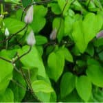 We look ar why your clematis has not flowered and how to encourage flowering. There are a few reasons from too much fertiliser to incorrect pruning.