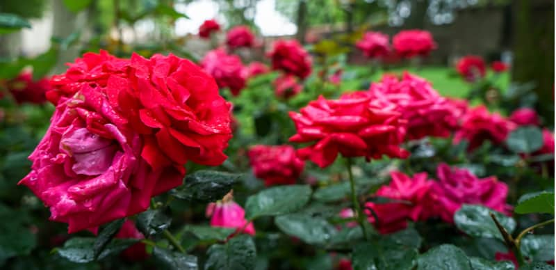 We look at how to revive a wilting rose by identifying the causes and how to treat them to help your rose recover. Learn how to treat a rose with wilting leaves