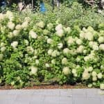 You can use most hydrangeas for making a hedge, some varieties are better suited for certain situations. Learn more about which varieties are best for hedging.
