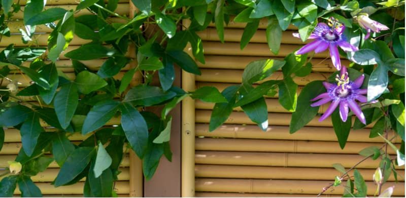 Evergreen climbing plants for fences