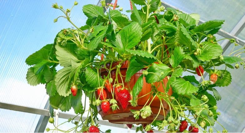 Growing vegetables and fruit in hanging baskets