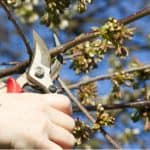 Young Cherry trees don't need pruning but after a few years is recommended you prune around July to keep the tree open and not too tall. Learn how to prune cherry trees