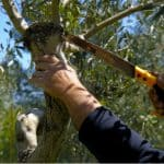 Olive trees are slow growers and require minimal pruning as the fruit on 1-year-old branches so prune at the end of spring. Learn how to prune olive trees now