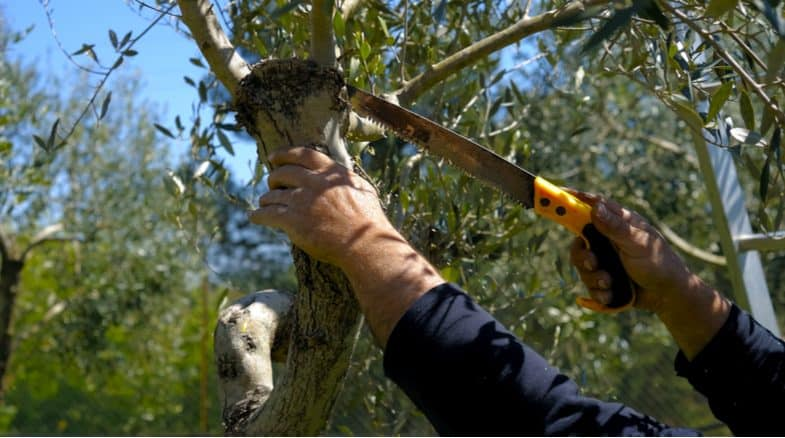 How and when to prune an olive tree
