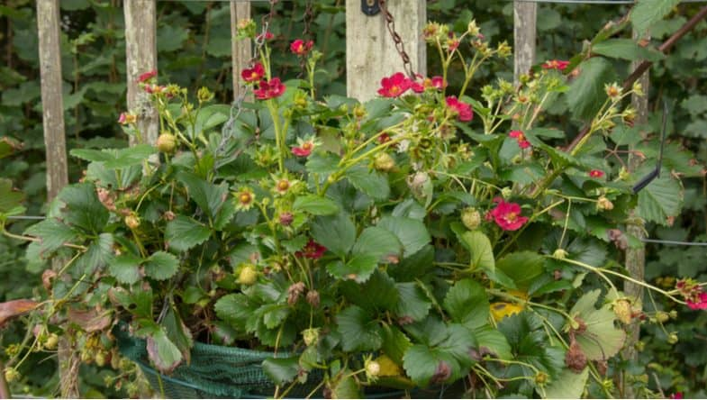 How to care for strawberry plants in hanging baskets