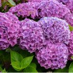 In this guide, we look at how to keep hydrangea upright and stop them from flopping over. This is a common problem, especially on young plants with larger flowers.