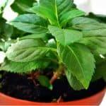 How to propagate climbing hydrangeas from cutting