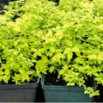 In this guide, we look at How to propagate spirea bushes by taking cuttings including softwood cutting, hardwood cutting and ground layering. Read our guide now