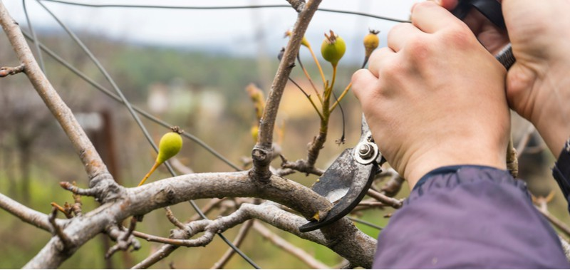 Pear trees should be pruned once they have dropped all there leaves for winter, never prune more than 20% and stagger pruning. Learn about pruning pears trees.