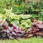 in this guide, we look at how to take Heuchera cuttings also known as coral bells. Its an easy process and is usually fairly successful if done correctly.