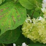 Hydrangea is generally problem-free but there are some Hydrangea leaf problems such as curling leaves, black spot, turning brown before falling. Learn more now