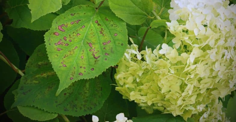 Hydrangea leaf problems