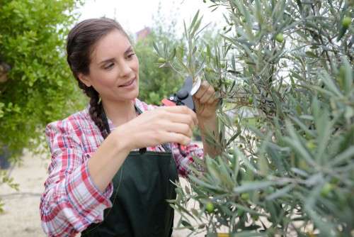 Pruning Olive tree to encourage more fruiting