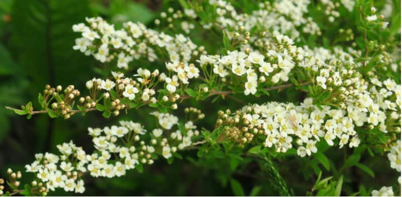 Reasons why your spirea might not flower
