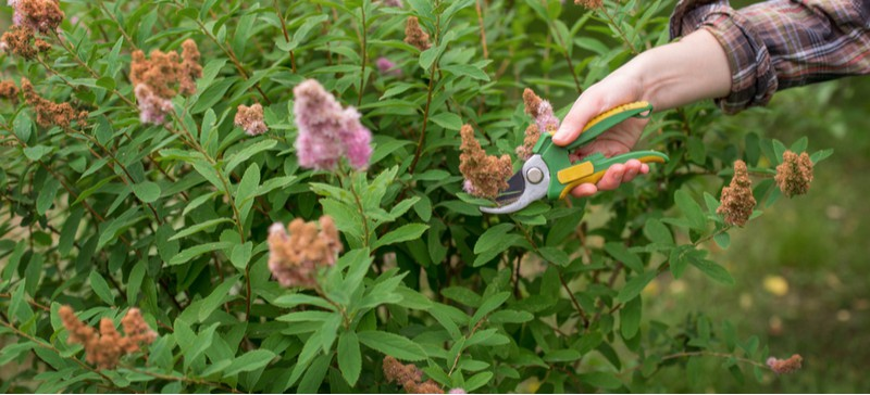 When and how to prune Spirea