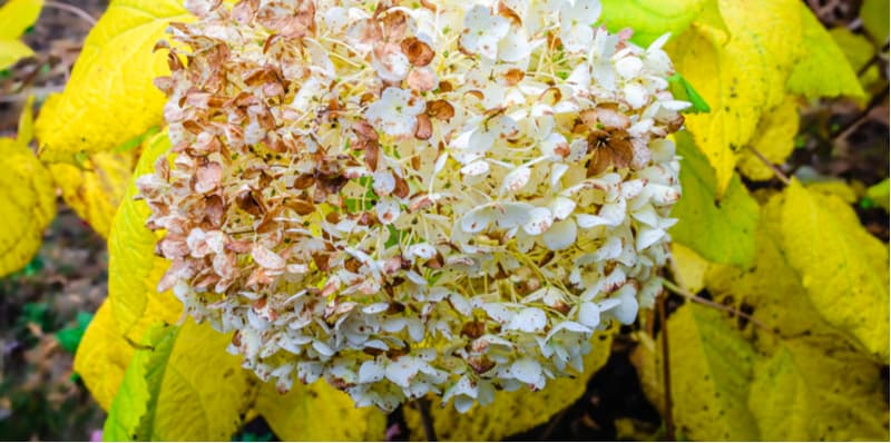In this article, we look at a common problem. Why are my hydrangea leaves turning yellow? There are a few causes but all have solutions so keep reading