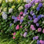 We often get asked Why is my hydrangea not flowering? Most of the time it's incorrect pruning that is likely cause but there are a few other reasons too.
