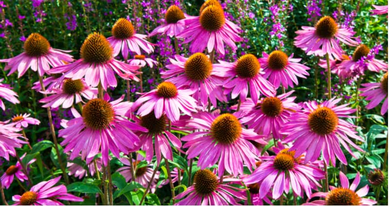 Clay soil can be difficult to grow plants so its always worth trying to improve the soil. However, we have created a list of the best perennials for clay soil.