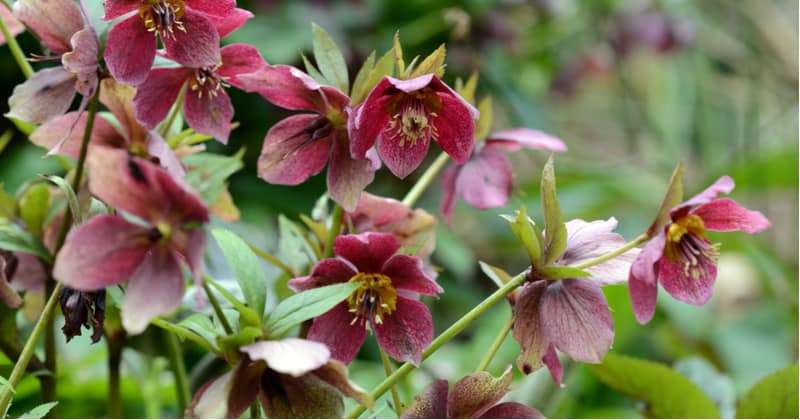 Shady areas of the garden can be difficult to find perennials that grow well so in this guide we recommend 12 of the best perennials for shade to offer much-needed colour