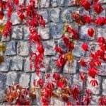 North facing walls can be difficult to find climbers to plant against so in this guide we share 12 climbers for north facing walls that will thrive and spread.