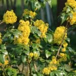 Common Mahonia pests and diseases