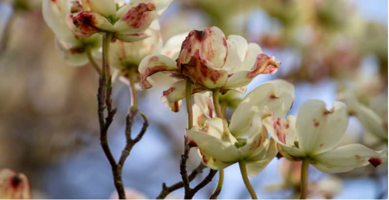 Cornus is generally problem-free but there are a few Cornus pests and diseases to look for including Dogwood anthracnose to scale insects. Learn more now