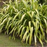 Phormiums can get really large but one way to control the size and propagating them in by division. Learn how to divide New Zealand Flax plants now