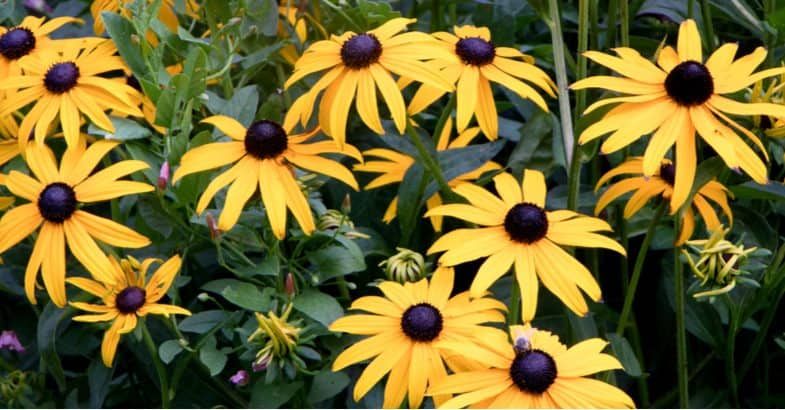 Growing Rudbeckia from seed – Cornflower Propagation