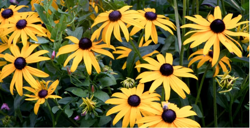 In this guide, we look at growing Rudbeckia from seed step by step starting with choosing between annuals and perennials to sowing seed and potting up seedling.