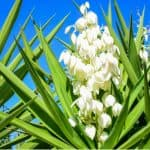 Yucca plants are an evergreen shrub that can be grown outdoors while more tender varieties are great house plants. Learn about growing Yucca plants now.