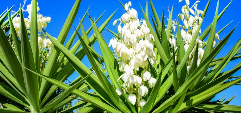 Growing Yucca plants for that stunning architectural effect