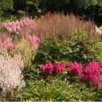 Growing astilbe. Care and growing guide for beginners