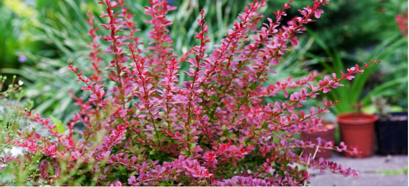 There are two cultivars of berberis which include the evergreen Darwinni and Thumbergii which is perfect for hedging. Learn how to grow berberis