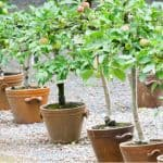 Learn about growing fruit trees in containers including choosing the right root stock and varieties. Includes apples, pears, plums, cherries and more.
