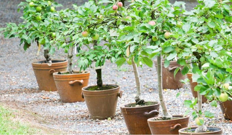 Growing fruit trees in containers – The complete growing guide
