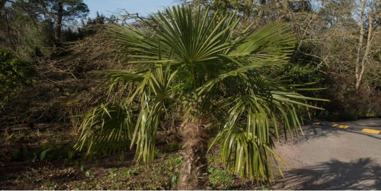 Growing hardy palm trees